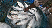 In pictures: One morning at the Karwan Bazar Fish...