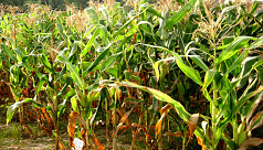 Maize target set at 18,500 tonnes in...