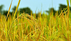 Good yield of 'Aloron' paddy will largely...