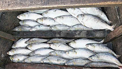 Hilsa netting resumes after 11-day...