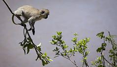 Monkey single-handedly triggers nationwide blackout in Kenya