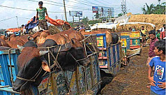 Cattle trade gains momentum, buyers...
