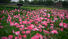 Afghan opium cultivation skyrockets...