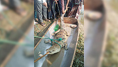 Five-foot-long crocodile netted
