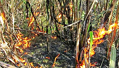 Sugarcane field goes up in flames in...