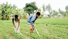 Farmers expect bumper yield of potatoes...
