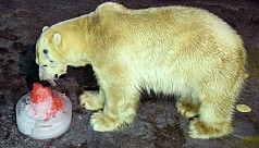 Study: Polar bear numbers to plunge...