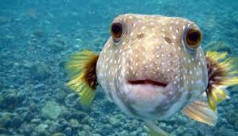Puffer fish selling banned in Sylhet