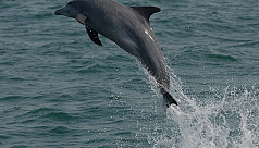 Dolphins are evolving in the Bay of...