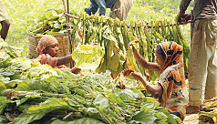 Tobacco production in Kushtia on...