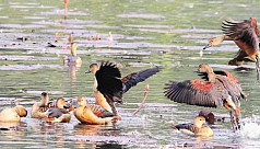 Use of poison rampant in Bhola for migratory...