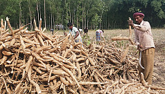 Cassava brings smiles to farmers