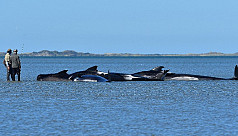 About 200 beached whales refloat themselves...