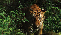 New population of rare tigers found...