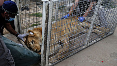 Abandoned Mosul zoo lion and bear flown...
