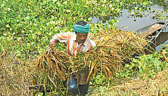 Rain destroys paddy fields in Chandar...