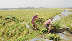 Rice crisis imminent after poor...