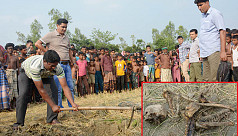 Bogra harvest reaps skull and