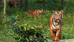 Left to starve, tigers throng human...