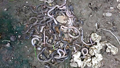 Snake pit with 125 cobras found in a...