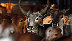 Hindustan Times: Illegal cattle trade...