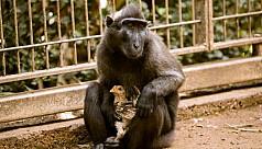 Loveless monkey adopts chicken at Israeli zoo