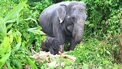 Elephant calf born at Bangabandhu Safari...