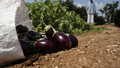 Bangladesh plans to popularise controversial Bt brinjal