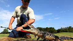 Dozens of alligators captured prior...