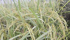Satkhira farmer develops rice impervious...