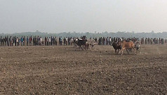 Bullock cart race in Jhenaidah: A jovial...