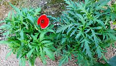 400 opium poppy plants recovered from...