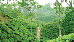 Global warming hits tea industry...