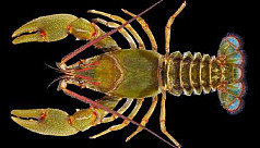 Crayfish capable of cloning themselves