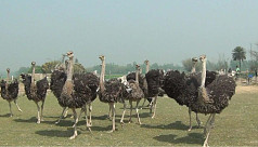 First ever ostrich farm set up in...