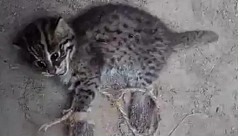 Two bobcat cubs rescued in Kushtia