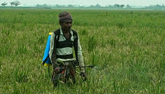 Blast infection: Boro crops at serious...