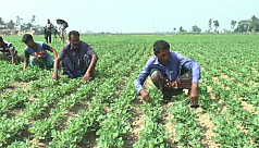 Peanut farming on the rise in Brahmanbaria