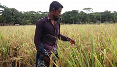 Rice developed by female Bagerhat farmer...