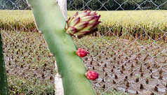 Dragon fruit being commercially farmed in Narsingdi