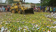 1,100 maunds of chemically-ripened mangoes...