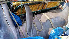 Two dolphins caught from Dhorla...