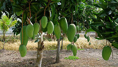 Mango plays vital role in improving...