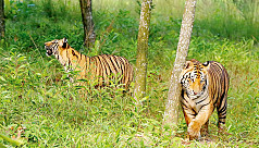 Probe body: Sundarbans tiger was not...