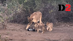 Lioness and cubs play with £2000 DSLR...