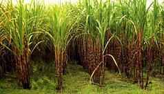 Tangail farmers to take up sugarcane...