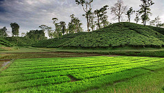 Tea production record high of 96.7m...