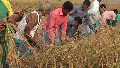 Low price of paddy frustrates Hili farmers despite bumper harvest