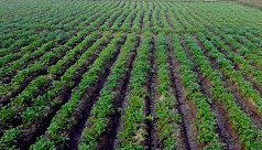 Naogaon farmers hopeful of potato bumper crop