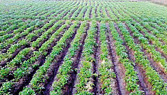 Potato farming target exceeds by 3.93percent in Rangpur region